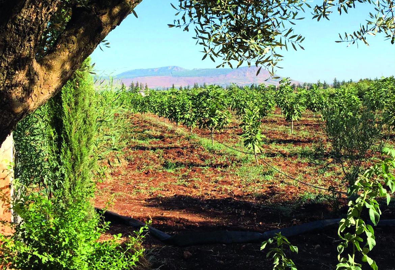 Marokko Olivenhain